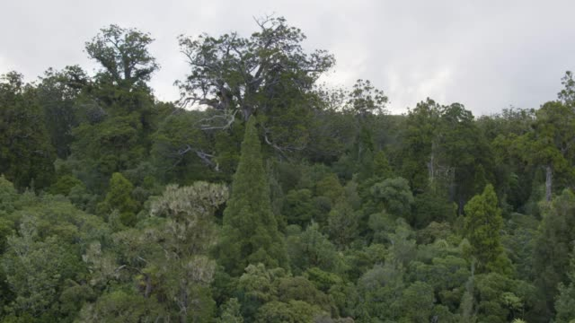 stockvideo's en b-roll-footage met drone shot of the tane mahuta tree in the waipoua forest - bay of islands nieuw zeeland