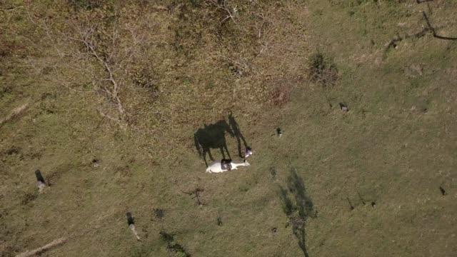 stockvideo's en b-roll-footage met drone schot van vrouw wit paard lopen op een veld - alleen één mid volwassen vrouw