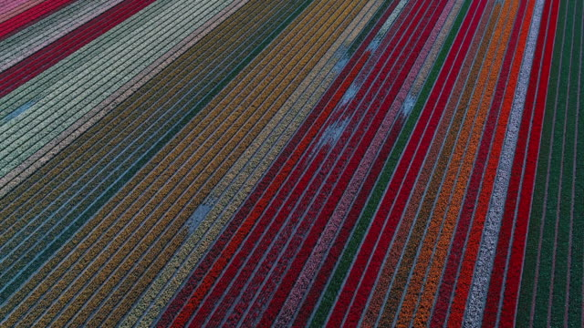 drone shot tilting upwards and spinning above a field full of rows of colourful tulips, lisse, netherlands - tilt up stock videos & royalty-free footage