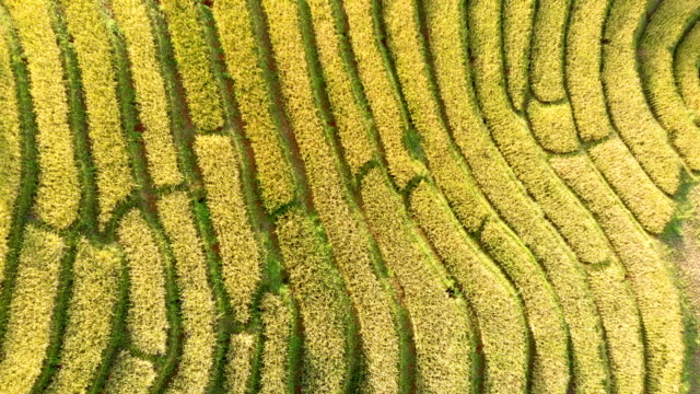 drone shot top view rice terraces in thailand. - cereal plant video stock e b–roll