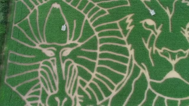 vídeos y material grabado en eventos de stock de drone shots of the 2019 york maze, which this year is based on the lion king, plus footage of owner tom pearcy and a zulu dance troop and an... - sumar