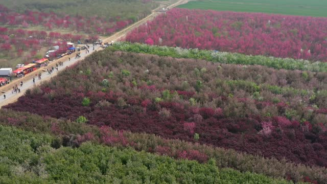 drone time-lapse aerial video of tourists visiting the blooming begonia fields in zouping, shandong province. footage by: costfoto / barcroft studios... - digital composite stock videos & royalty-free footage