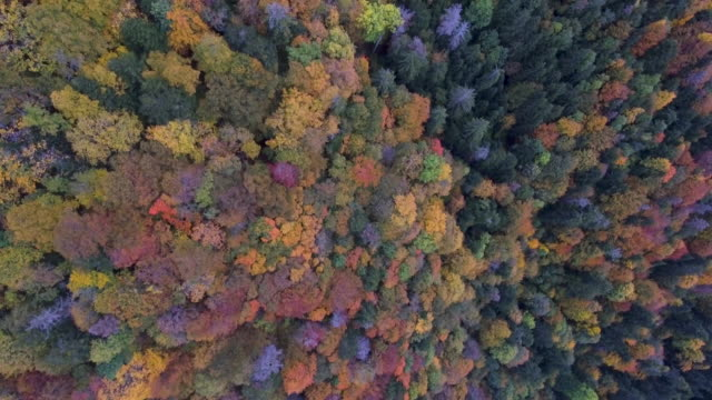a drone top down view over a alpine forest canopy in autumn. the trees of many typical fall colors. - reforestation stock videos and b-roll footage