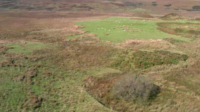vídeos y material grabado en eventos de stock de vídeo de drones de ovejas en la escocia rural - johnfscott