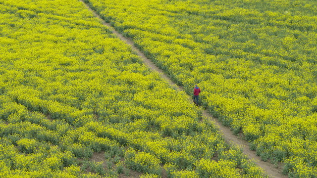 a drone view of a man walking his dog through an oilseed rape field - footpath stock videos & royalty-free footage