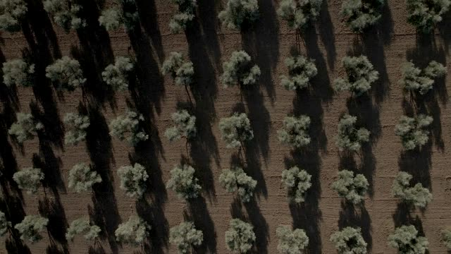 vídeos y material grabado en eventos de stock de drone view of a olive tree's valley - agricultural field