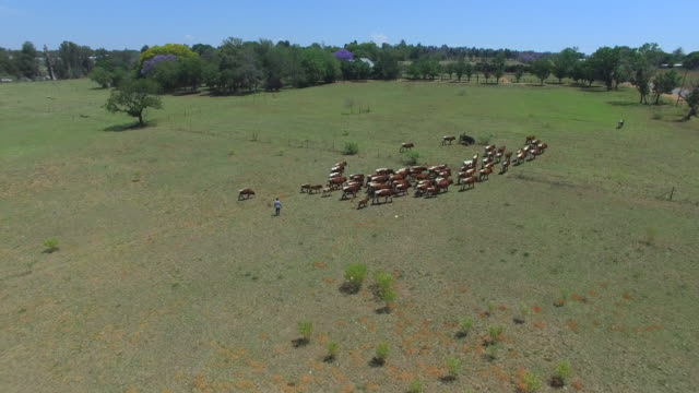vídeos de stock, filmes e b-roll de drone view of cattle in pasture / cape town, western cape, south africa - pastor trabalho agrícola