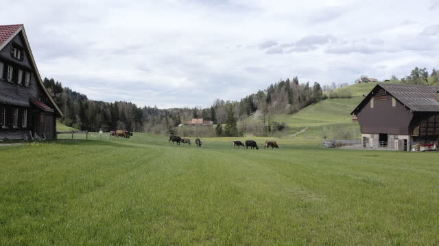 drone view of cows in a pasture in the swiss alps - rennen stock videos & royalty-free footage