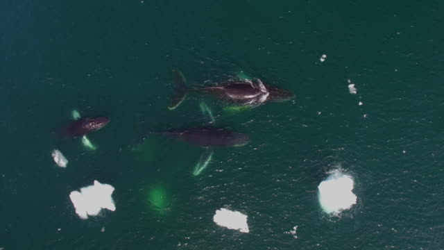 drone view of humpback whale pod in antarctica - pod group of animals stock videos & royalty-free footage
