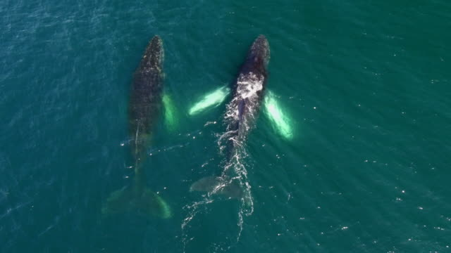 drone view of humpback whales in antarctica - whale stock videos & royalty-free footage
