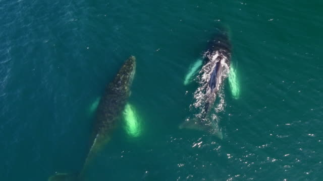 drone view of humpback whales in antarctica - pod group of animals stock videos & royalty-free footage