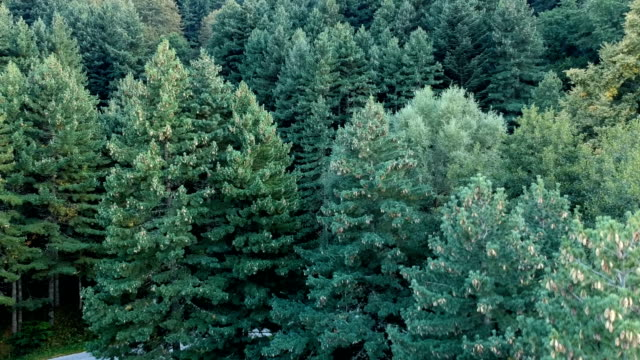 drone view of pine forest - pine tree stock videos & royalty-free footage