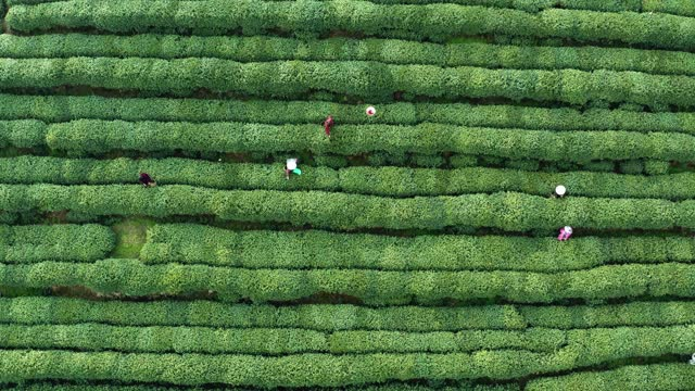 drone view of tea farmers pick tea-leaves in tea garden,hangzhou,china. - tropical tree stock videos & royalty-free footage