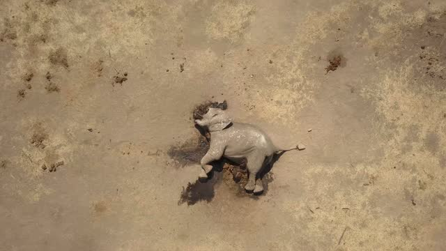 stockvideo's en b-roll-footage met drone view views of an african elephant killed for its tusks by poachers - olifant