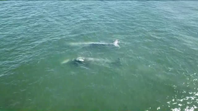 ktla drone pov whales in seal beach - cetacea stock videos and b-roll footage