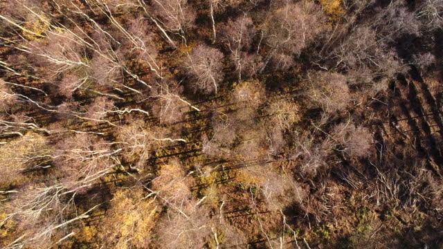 Drones eye view over Silver Birch trees at Holme Fen
