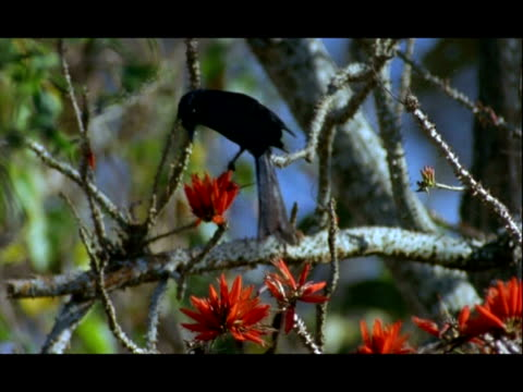 ms drongo, dicrurus, feeding in flowering erythrina tree, nagarahole national park, india - drongo stock videos and b-roll footage