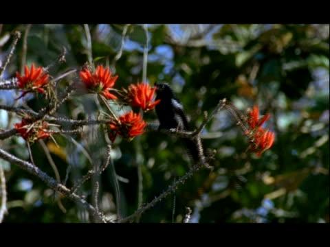 ms drongo, dicrurus, perching in flowering erythrina tree, excretes faeces, nagarahole national park, india - 泌尿器系点の映像素材/bロール