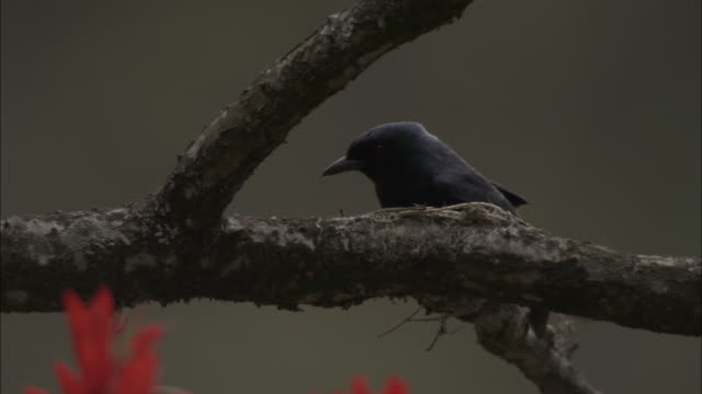 drongo on branch, chopta, india available in hd. - drongo stock videos and b-roll footage