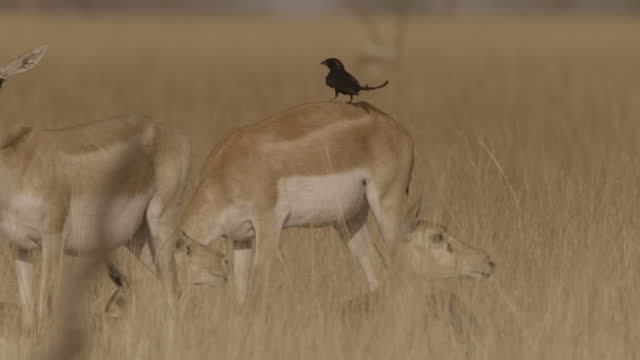 drongo perched on back of blackbuck doe, india. - femmina di daino video stock e b–roll
