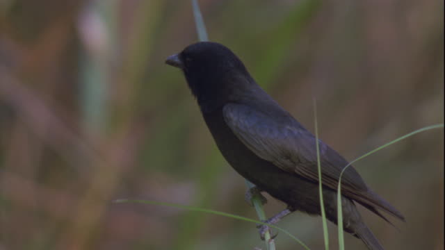 a drongo perches above a grass fire in kaziranga, india. - drongo stock videos and b-roll footage