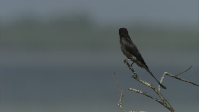 a drongo perches on a bare branch above the ganges river. available in hd. - drongo stock videos and b-roll footage