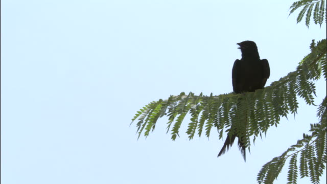 drongo takes off from branch, yamnotri, india available in hd. - drongo stock videos and b-roll footage