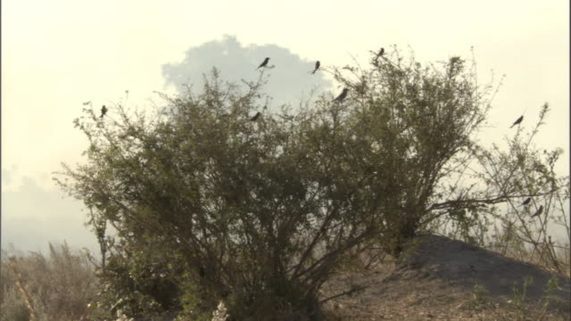 drongos perch in a tree during a wildfire. - drongo stock videos & royalty-free footage