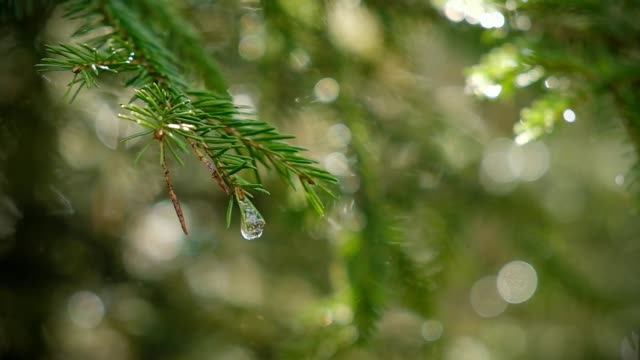 a drop in a spruce branch in the spring - spruce stock videos & royalty-free footage