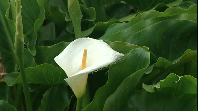 Droplets of water cling to a white calla lily.