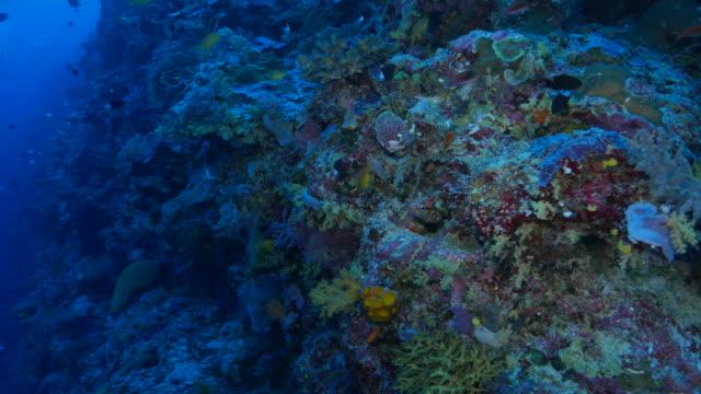 vídeos y material grabado en eventos de stock de conexión-desconexión de coral arrecife, apo arrecife, filipinas - esponja