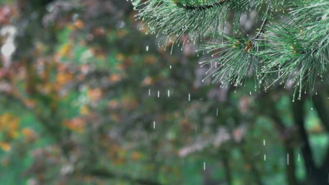 vídeos de stock e filmes b-roll de drops falling from pine branches close up - pinheiro
