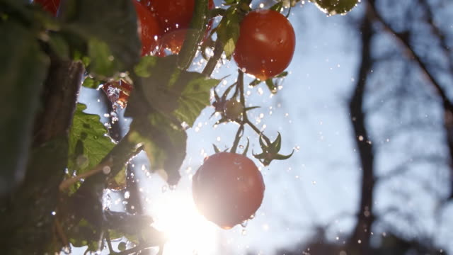 SLO MO Drops Falling Over Tomatoes