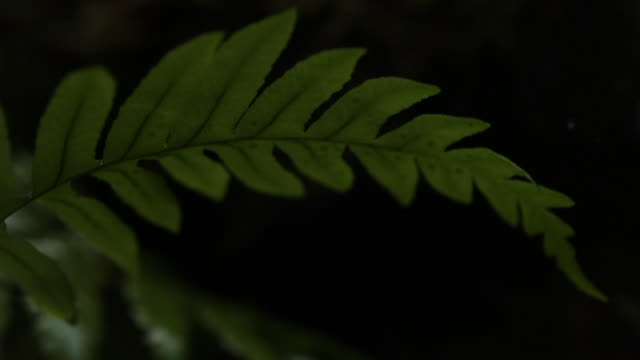 stockvideo's en b-roll-footage met drops of water drip onto fern frond. - canada