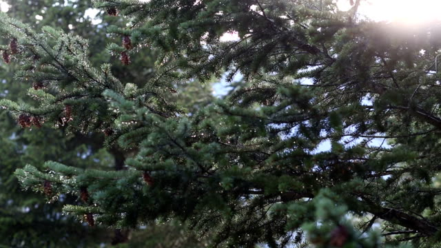 Drops of water fall from conifer trees after rainfall