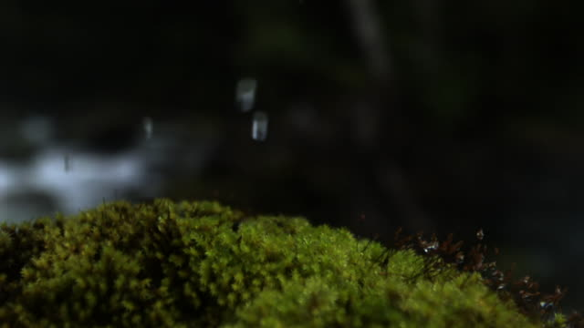 drops of water fall onto moss. - moss stock videos & royalty-free footage