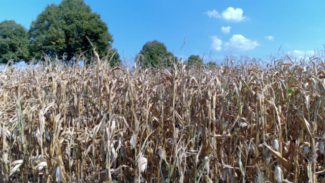drought affected corn field in summer - dry stock videos & royalty-free footage
