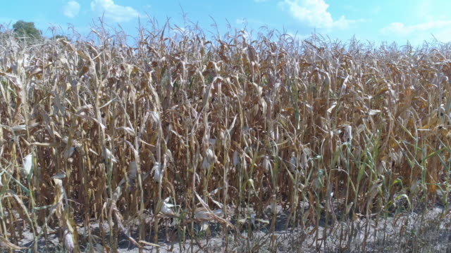 dürre betroffenen kornfeld im sommer - ausgedörrt stock-videos und b-roll-filmmaterial