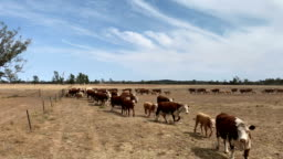 Drought affected farm land and Hereford cattle