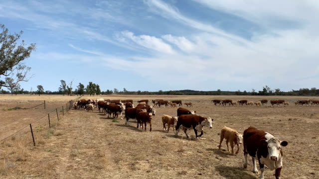 drought affected farm land and hereford cattle - drought stock videos & royalty-free footage