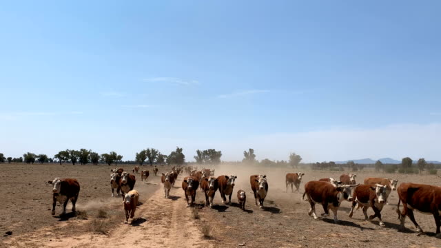 drought affected farm land and hereford cattle - horizontal stock videos & royalty-free footage