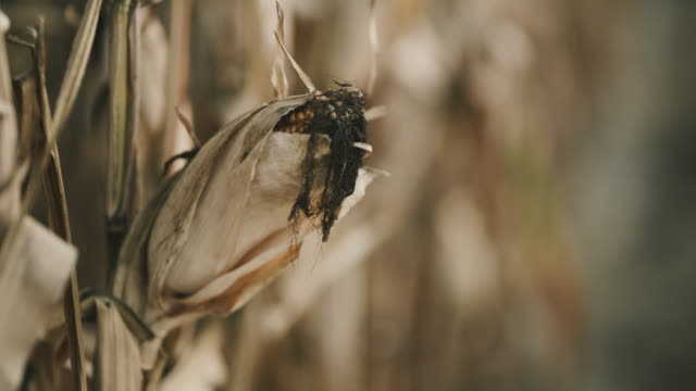 ds drought and diseased corn - diseased plant stock videos and b-roll footage