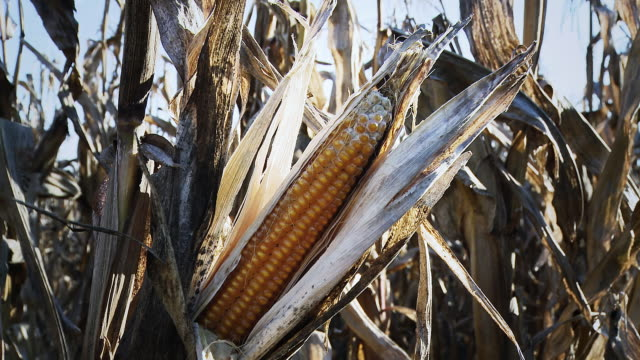 hd dolly: drought and diseased corn - drought stock videos & royalty-free footage