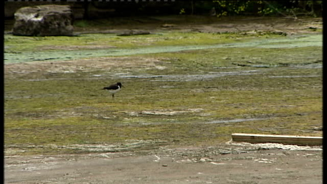 drought and water shortages in northwest england bird standing in muddy river bed - northwest england stock videos and b-roll footage