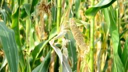 Drought Damaged Cornfield.