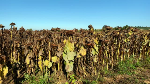 drought sunflower field - death stock videos & royalty-free footage