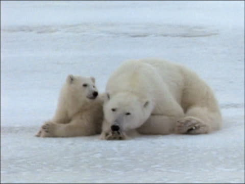 drowsy polar bear (ursus maritimus) mother and cub lying side-by-side on ice / hudson bay, manitoba, canada - side by side stock videos & royalty-free footage