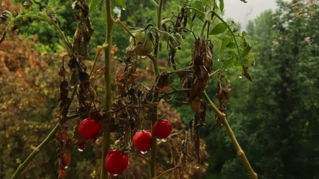 vídeos de stock, filmes e b-roll de dry cherry tomatos with rain drops - processo vegetal