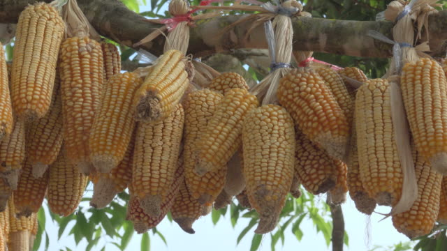 dry corn hang on tree - hanging stock videos & royalty-free footage