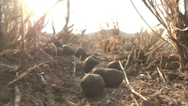 vídeos y material grabado en eventos de stock de dry gourds lie at the base of dried stalks. - calabaza no comestible